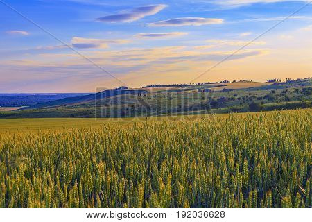 The wheat field in Krasnodar Krai Kuban. Evening the sunlight has tinted both ears of wheat and the hill on which fields of grain are also visible.