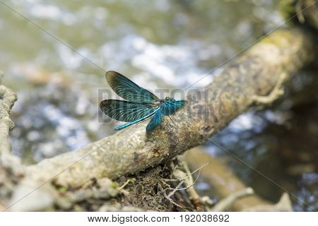 View on a Beautiful demoiselle in the Morning Light. Close-up of a blue Dragonfly with outspread wings. Dragonflies (Calopteryx virgo). A Dragonfly sits on a Branch.
