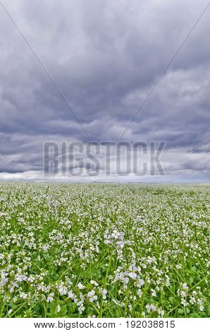 Field of white flowers with storm clouds overhead