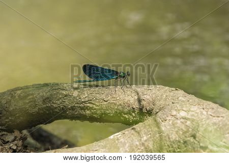 View on a Beautiful demoiselle in the Morning Light. Close-up of a blue Dragonfly at the Lake. Dragonflies (Calopteryx virgo). A Dragonfly sits on a Branch
