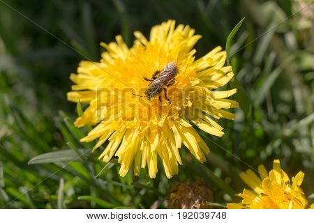 An insect pollinates a dandelion close up