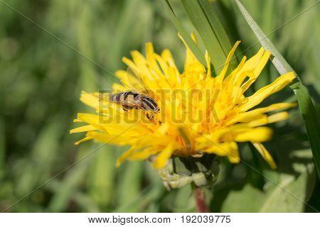Big fly on a dandelion close up