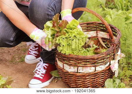 woman picking fresh lettuce from her garden. Lettuce put in a basket .