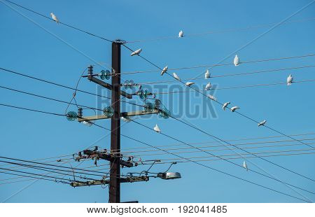 Electricity pole with many little Corella birds in Northern territory, Australia.
