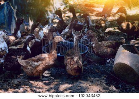 duck farm in Thailand duckling native varieties.