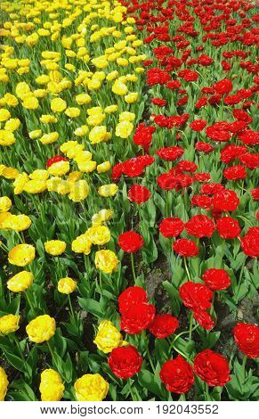 Blooming tulips of yellow and red in two vertical lines.