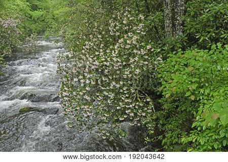 Mountain Laurel Along a Raging Noland Creek in Spring in the Great Smoky Mountains of North Carolina