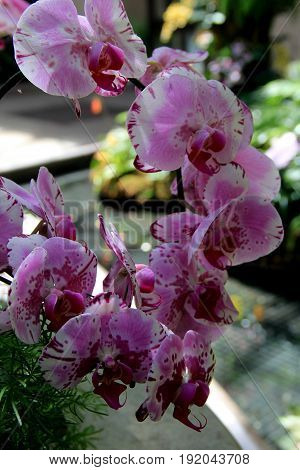 Vertical image of tropical garden with pink and white exotic  orchids hanging from branch of tree,