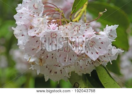 Mountain Laurel in the Spring in the Great Smoky Mountains in North Carolina