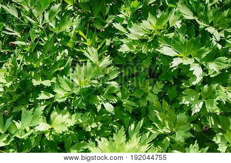 Green Lovage Plant