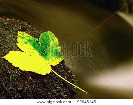 Autumn Leaf. Yellow Green Maple Leaf Caught On The Stone