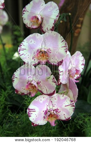 Vertical image of several exotic orchids hanging from branch of tree in tropical setting.