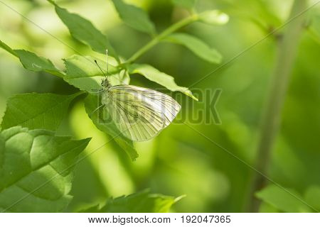 View on a Brimstone Butterfly on a green Leaf. Close-up of a beautiful Butterfly (Lepidoptera) in Sunlight.