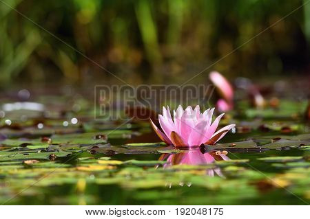 Flower. Beautiful Blooming Water Lily On The Water Surface. Natural Colorful Blurred Background. (ny