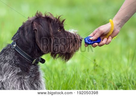 training young dog with clicker on the green summer background
