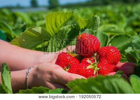Handful fresh picked delicious strawberries held over strawberry plants.