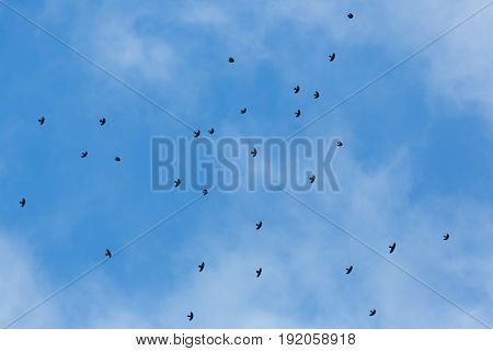 Swarm Of Alpine Choughs (pyrrhocorax Graculus) Flying In Blue Sky With Clouds