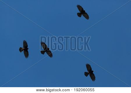 Four Alpine Choughs (pyrrhocorax Graculus) Flying In Blue Sky