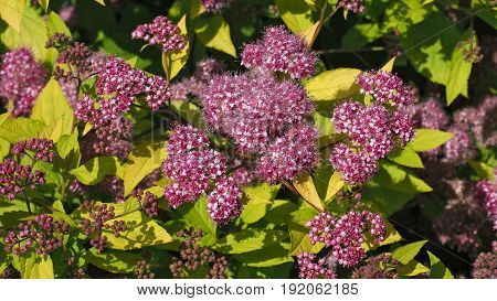 A branch of a green bush with flowering pink flowers. Pink floral plant bush, green leaves