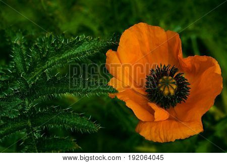 Orange poppy flower on a green leaf background. A beautiful poppy blooms in the green grass. Soft focus. Close-up. Nature.