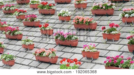 Geraniums and sweet alyssums in the plastic pots, on the concrete retaining wall