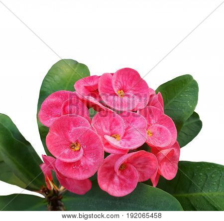 Blooming pink crown of thorns flower ( Christ Thorn or Euphorbia milii Desmoul ) with dew drops isolated on white background