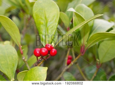 Skimmia japonica plant with leaves and red berries. Japanese sorbus