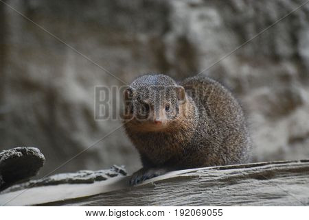 Great dwarf mongoose with an adorable face.