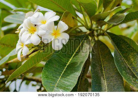 White Plumeria Or Frangipani.