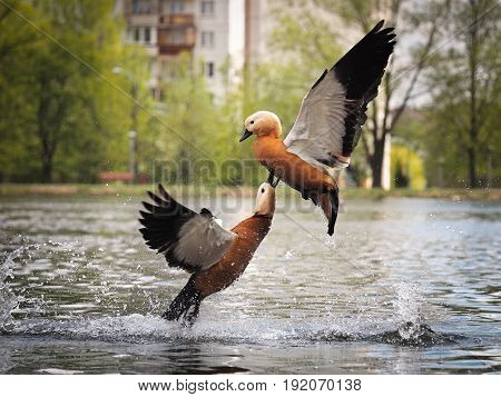 Ducks fighting in the air above the water. A lot of spatter beautiful