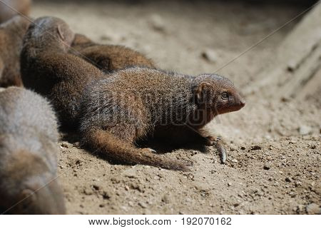 Dwarf mongooses in a large pack of other mongooses.