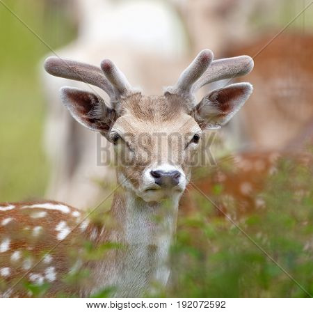 Closeup of a Young Fallow Deer (Dama Dama) in Forest
