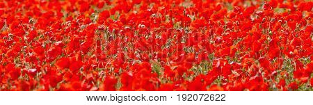 Field of Blooming Red Poppies in Springtime