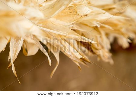 Close Up At Corn Husks At Farm