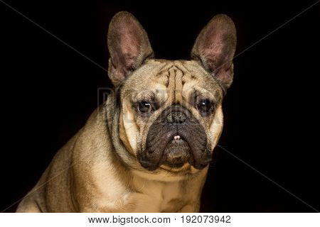 French bulldog of fawn color black background