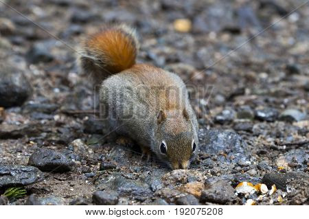 North American red squirrel at Mount Washington Coors County New Hampshire.