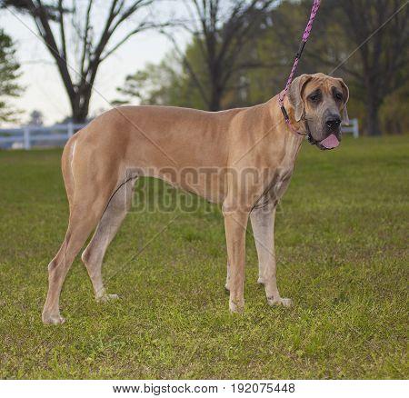 Purebred brown Great Dane on a grassy field
