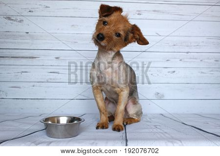 Small dog waiting for his ration next to his bowl of croquette with attention