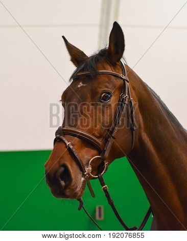 Dressage: portrait of bay horse. Close up of the head of a bay dressage horse with bridle and check-rein or martingale.