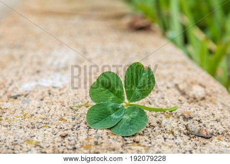 Horizontal closeup photo of a green four leaf clover on a cement curb with blades of grass in soft focus in the background