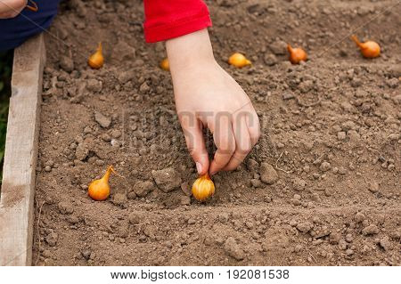 Hand Child Planting Onion In Ground In Spring Garden Close Up.