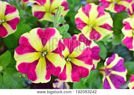 Burgundy Star Petunias