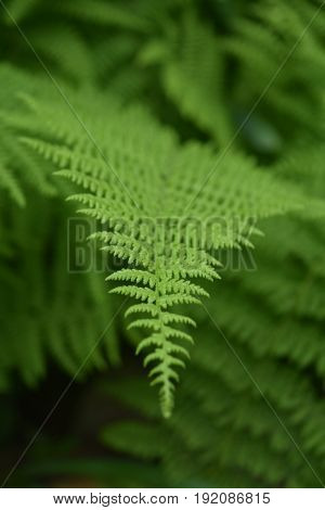 Wild green lady ferns growing in a shade garden.