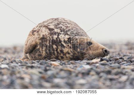 Lazy Male Grey Seal (halichoerus Grypus) Lying On Gravel Beach