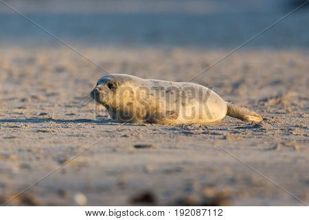 Young Seal Crawling On Sand Beach In Sunshine