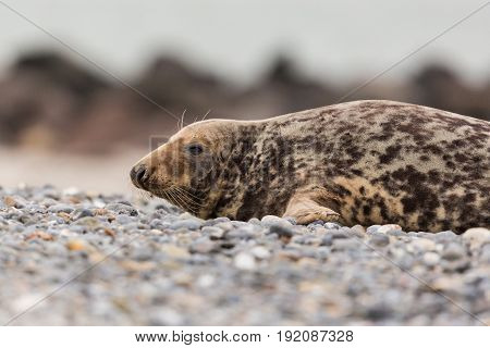 Side View Of Male Gray Seal (halichoerus Grypus) On Gravel Beach