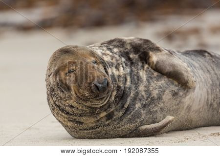 Front View Of Male Gray Seal (halichoerus Grypus) On Sand Beach