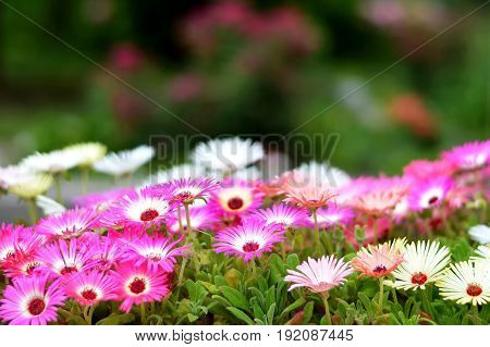 Close up of colorful Livingstone daisy flowers