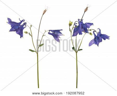 Dried and pressed flowers of a blue campanula isolated on a white background. Herbarium of spring flowers.