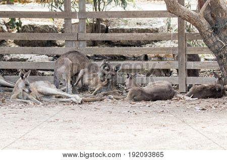 Kangaroos lie on a sunny day on the ground and rest at the Australian Zoo Gan Guru in Kibbutz Nir David in Israel